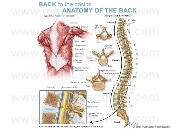 anatomy_of_the_back