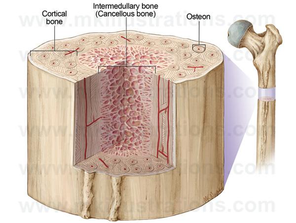 bone_structure