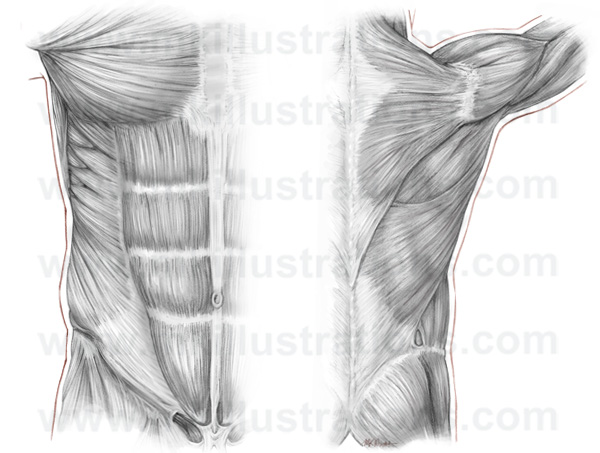 chest_and_back_musculature