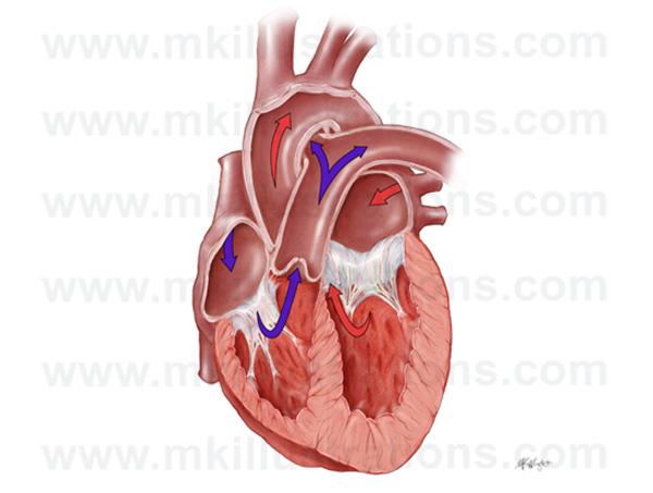 cross_section_of_heathy_heart