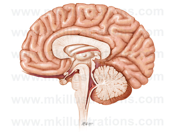 mid_sagittal_section_of_the_brain