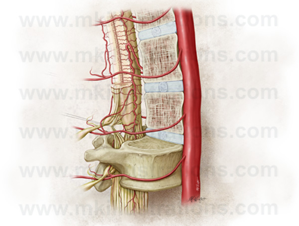spinal_cord_vasculature